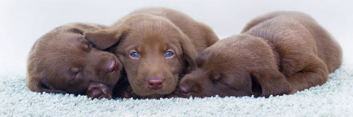 Three Chocolate Lab Puppies Laying On Clean White Carpet In Severn & Odenton